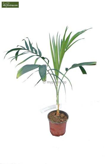 Chamaedorea radicalis pot Ø 13 cm totale hoogte 40-50 cm