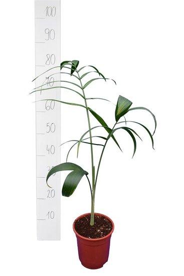 Chamaedorea radicalis pot Ø 13 cm totale hoogte 80+ cm