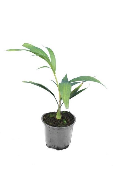 Ptychosperma macathuri Pot Ø 14 cm