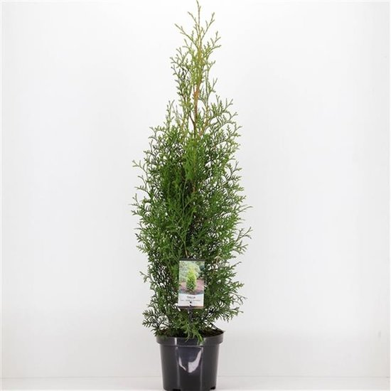 Thuja King of brabant 3 ltr