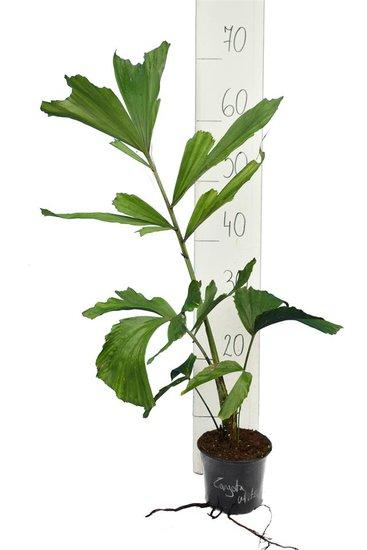Caryota mitis pot Ø 14 cm