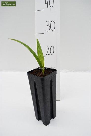 Trachycarpus sp. Nova pot: 0.7ltr.