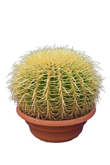 Echinocactus grusonii pot Ø 32 cm