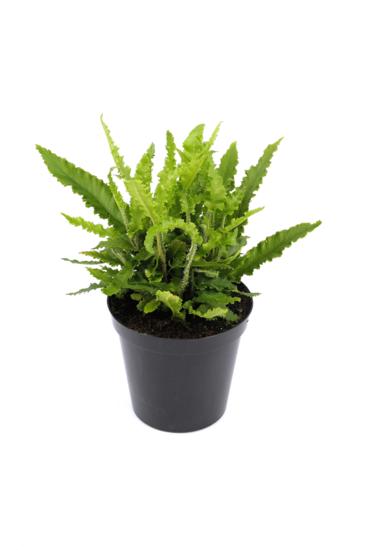 Asplenium scolopendrium Angustifolia pot 0,7 ltr