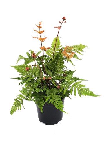 Dryopteris erythrosora pot 0.7 ltr