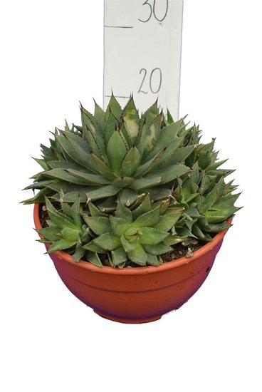 Agave boldinghiana pot Ø 26 cm