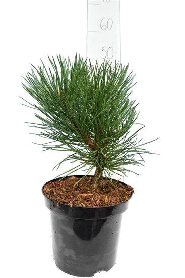 Pinus nigra Nana pot Ø 19 cm