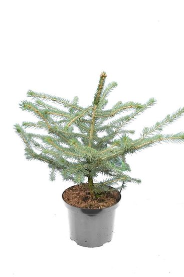 Picea pungens Glauca 5 ltr