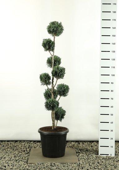 Chamaecyparis lawsonia Columnaris multibol totale hoogte 150-170 cm