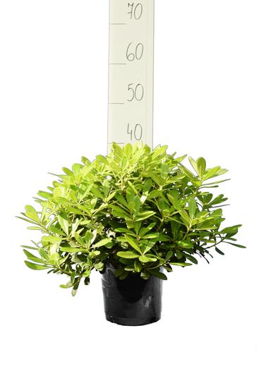 Pittosporum tobira 'Nanum' pot 3 ltr