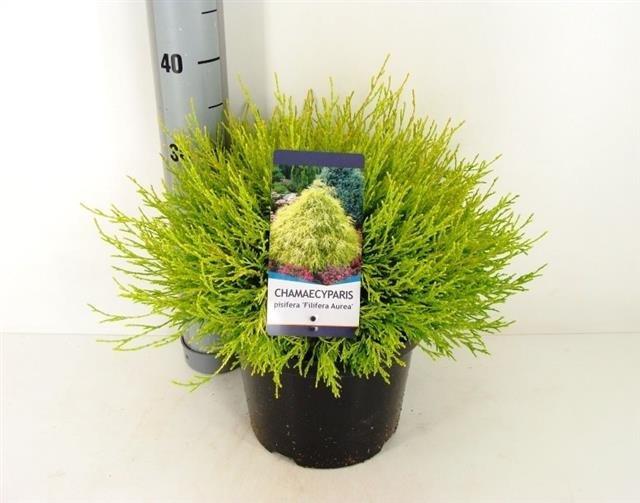 Chamaecyparis pisifera Filifera Aurea 5 ltr