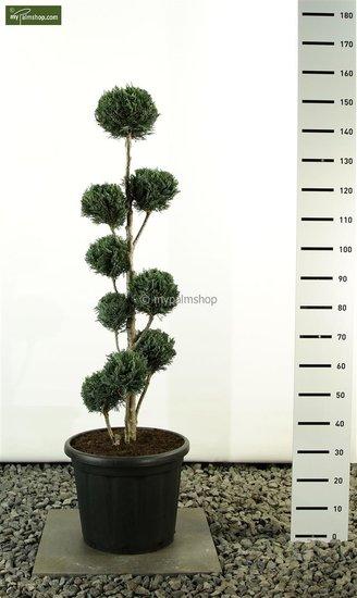 Chamaecyparis lawsoniana Columnaris Multibol - totale hoogte 125-150cm