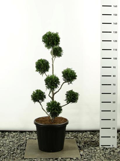 Thuja plicata Martin Multibol - totale hoogte 100-125 cm
