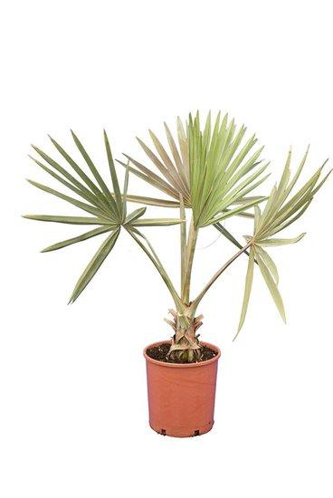 Bismarckia nobilis totale hoogte 100-120 cm