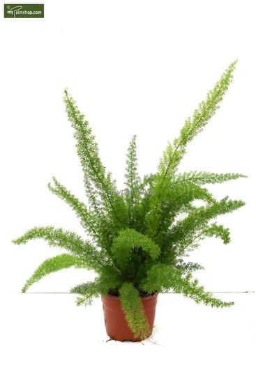 Asparagus meyeri pot: Ø 18cm totale hoogte: 60- 70cm