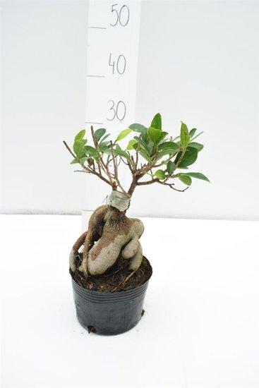 Ficus marcrocarpa Compacta Ginseng totale hoogte 40-50 cm - Ø 15 cm pot