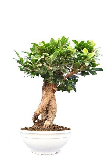 Ficus marcrocarpa Compacta Ginseng pot Ø 23 cm