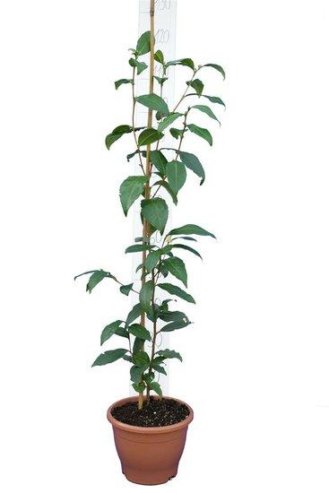 Camellia chinensis pot Ø 23 cm totale hoogte 100-120 cm