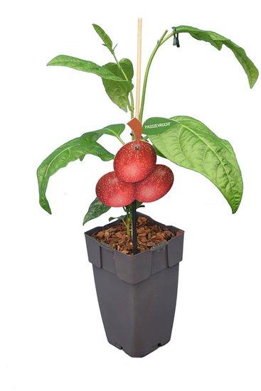 Passiflora edulis P11