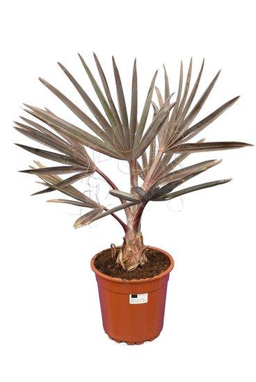 Bismarckia nobilis pot Ø 24 cm