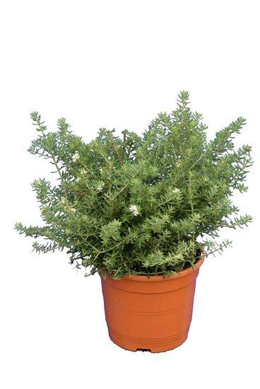 Westringia fruticosa pot Ø 20 cm