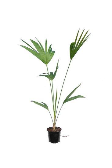 Thrinax parviflora pot Ø 12 cm