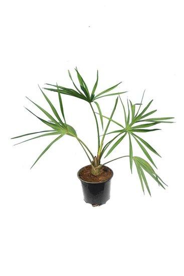 Livistona benthamii pot Ø 12 cm