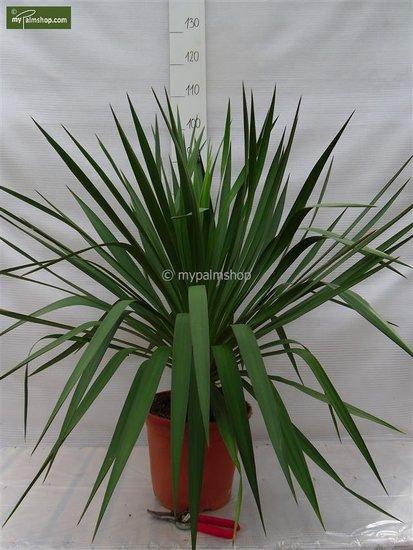 Yucca gloriosa - pot Ø 26cm 8 Ltr