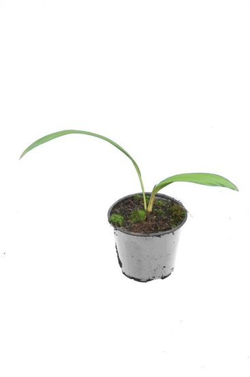 Livistona chinensis - totale hoogte 40-50 cm - pot Ø 13 cm