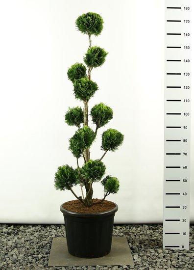 Chamaecyparis lawsonia Stardust Multibol - totale hoogte 175-225 cm