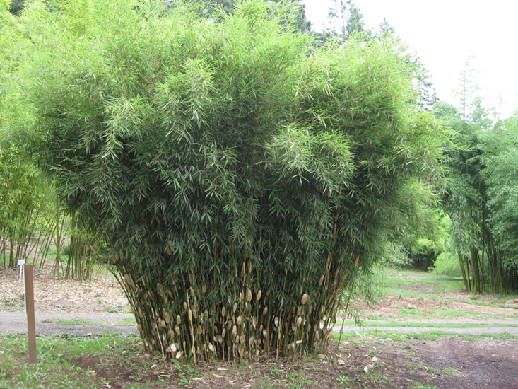 Fargesia robusta Wolong 1 ltr