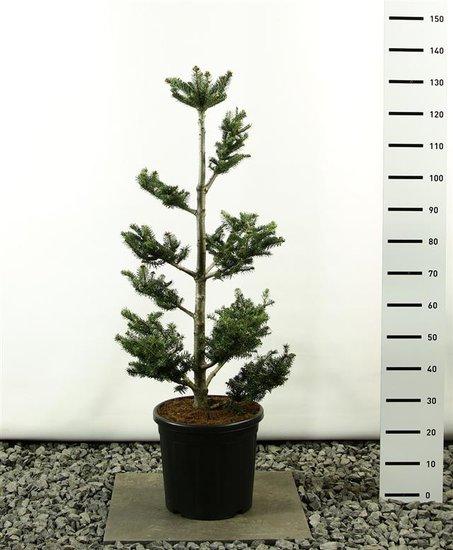 Abies fraseri multiplateau totale hoogte 100-125 cm