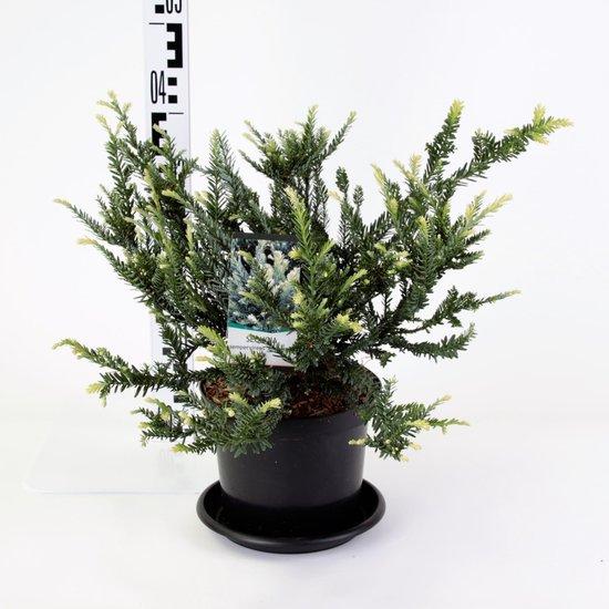 Sequoia sempervirens Adpressa 3 ltr