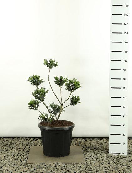 Ilex crenata Convexa Multibol - totale hoogte 80-100 cm