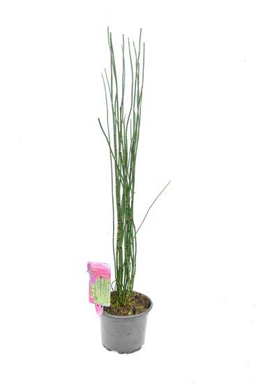 Equisetum japonicum - totale hoogte 80-100 cm - pot Ø17 cm 2 ltr