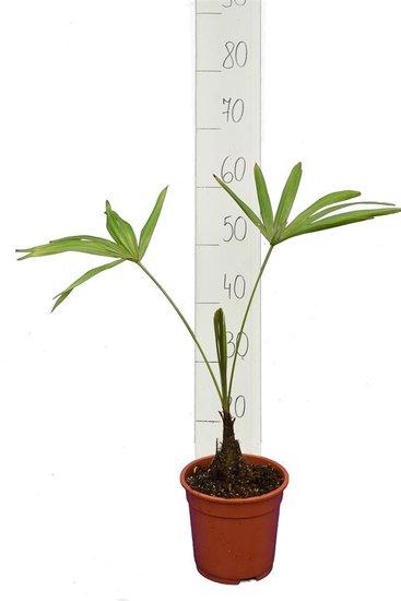 Trachycarpus latisectus - stam 5-15 cm - totale hoogte 60-80 cm - pot Ø 17 cm