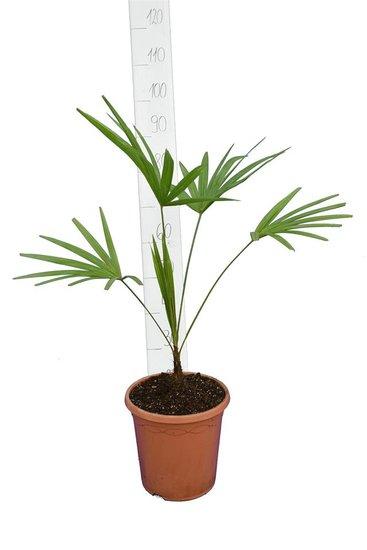 Trachycarpus latisectus - stam 5-15 cm - totale hoogte 80-100 cm - Ø 26 cm pot