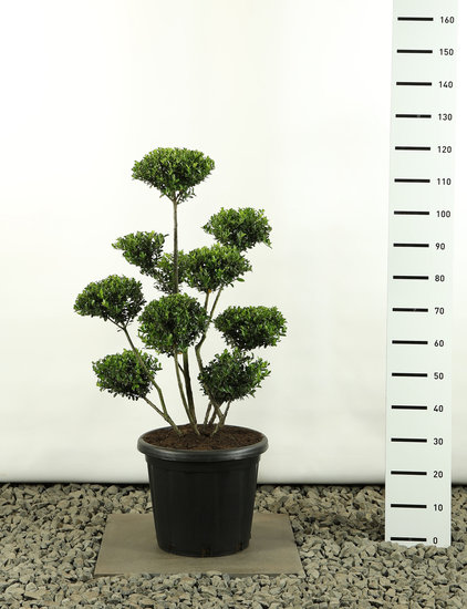 Ilex crenata Green Hedge Multiplateau extra -  totale hoogte 100-125 cm