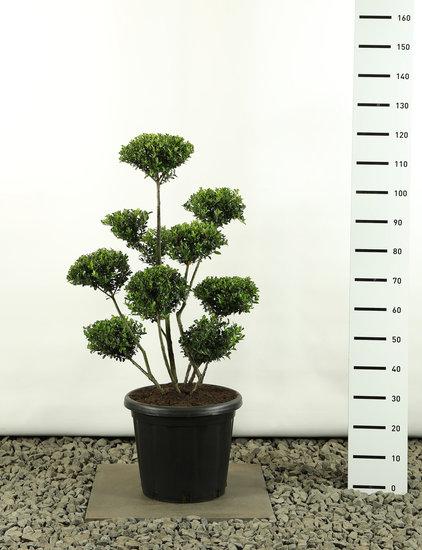 Ilex crenata Green Hedge Multiplateau extra -  totale hoogte 125-150 cm