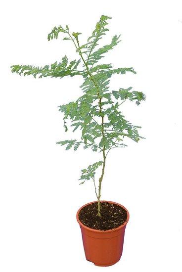 Caesalpinia gilliesii totale hoogte 60+ cm - pot Ø 17 cm