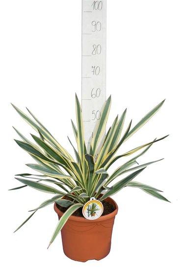 Yucca gloriosa Variegata - totale hoogte 60-70 cm - pot Ø 26 cm