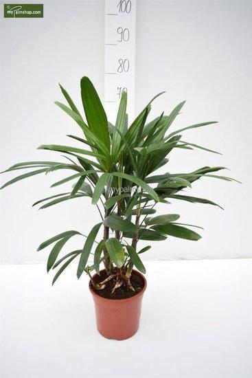 Rhapis excelsa totale hoogte 80-100 cm - pot 2.5 ltr
