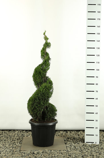 Thuja occidentalis Smaragd Spiraal - totale hoogte 125-150 cm