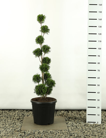 Thuja occidentalis Golden Smaragd Multibol - totale hoogte 125-150 cm
