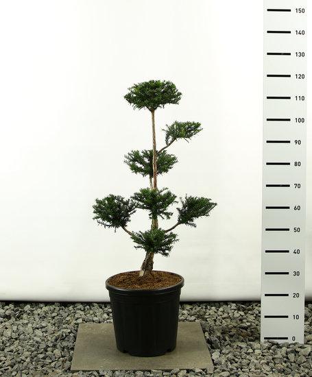 Taxus baccata Multiplateau - totale hoogte 80-100 cm