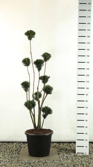 Taxus media Hicksii Multibol extra - totale hoogte 150 - 170 cm