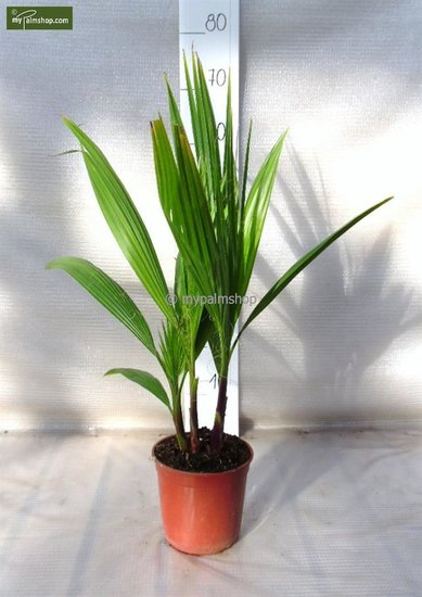 Washingtonia robusta Multistam pot Ø 15cm  - totale hoogte 50-70 cm