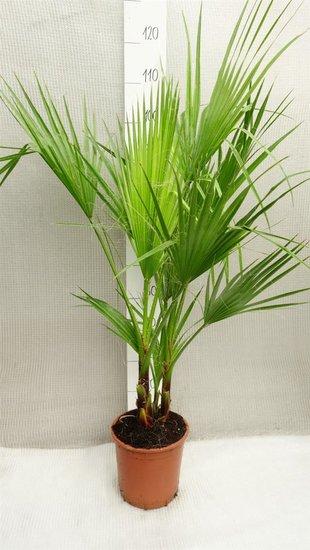 Washingtonia robusta Multistam pot Ø 22cm - totale hoogte 80-100 cm
