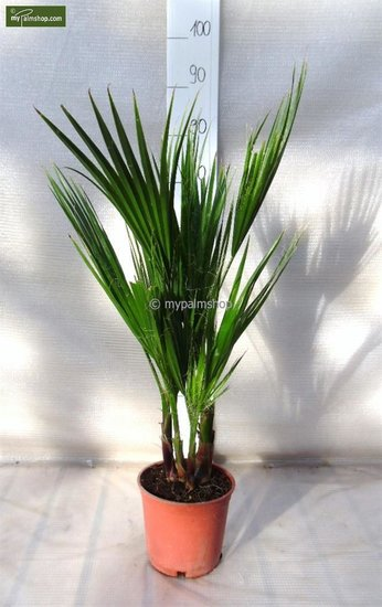 Washingtonia robusta Multistam pot Ø 18cm - totale hoogte 70-90 cm