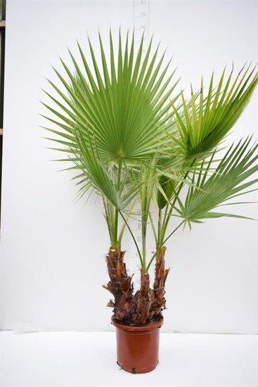 Washingtonia robusta Multistam pot Ø 35cm - totale hoogte 140+ cm